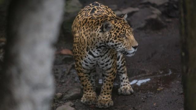 Foto: Colocan collares con GPS a jaguares para su conservación en Nayarit, 23 de abril de 2020, (Getty Images, archivo)