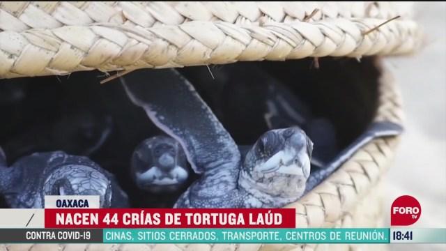 FOTO: nacen crias de tortuga laud en puerto escondido