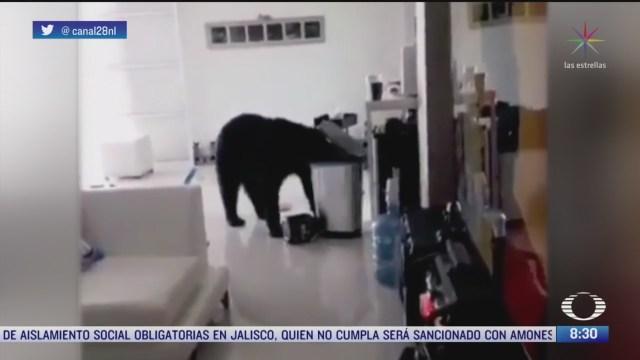 oso entra a una casa en nuevo leon en busca de alimentos