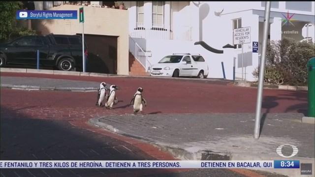 pinguinos paseando en calles de sudafrica