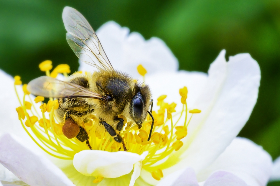 Una abeja se posa sobre una flor y la poliniza. Fotografía.