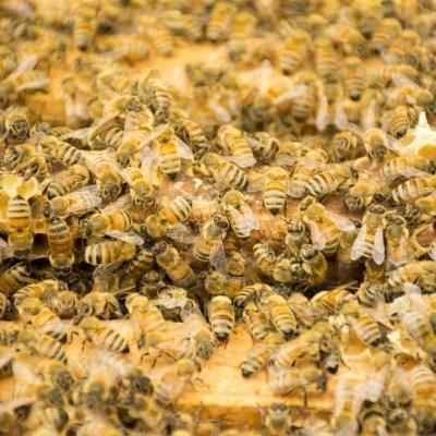 Video: colmena de abejas cocina vivo a un avispón asesino