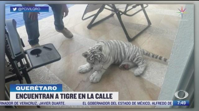 cachorro de tigre albino se pasea por calles de queretaro