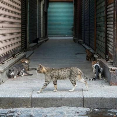 Detectan primer caso de gato con coronavirus en España; el sexto en el mundo