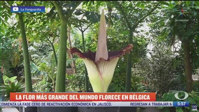 la flor mas grande del mundo florece en belgica