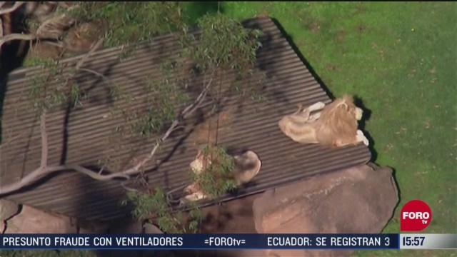 FOTO: leones atacan a trabajadora de zoologico