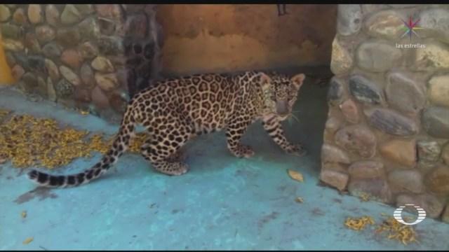 mas de 600 animales silvestres han sido rescatados durante la contingencia sanitaria