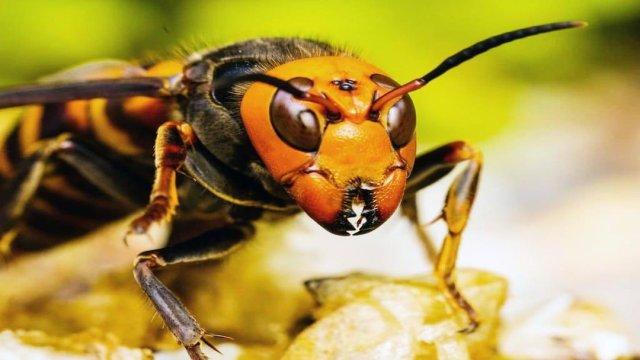 México no ha detectado presencia de avispón asiático gigante