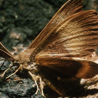Polillas gitanas llegan a Washington: Otro insecto por el cual preocuparse (además de los avispones asesinos)