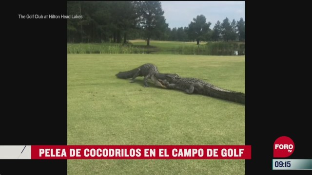 cocodrilos pelean en un campo de golf en carolina del sur