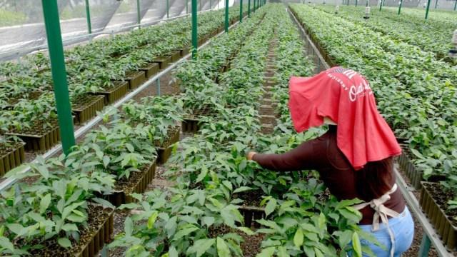 mujer-trabaja-en-viveros-de-sembrando-vida-en-culiacan