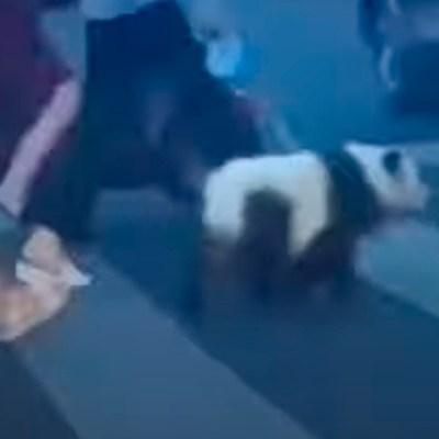 Video: Mujer se vuelve viral por pasear a falso oso panda