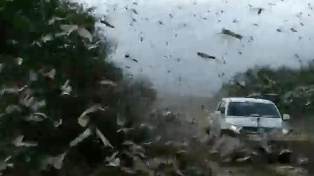 Videos muestran llegada de plaga de langostas a Argentina