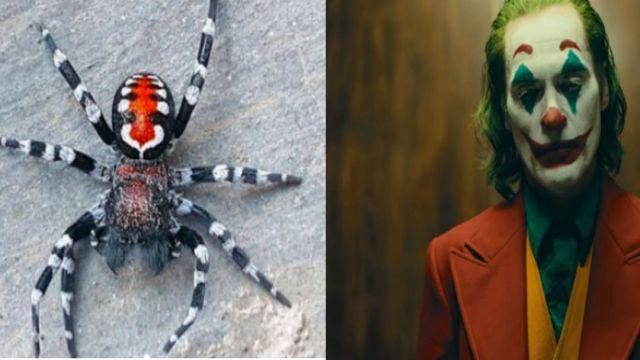 Descubren a nueva especie de araña parecida al Joker