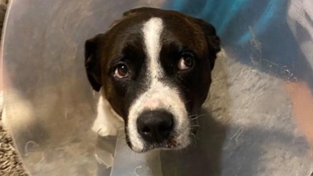 perro baz portando cono tras ser golpeado al proteger su casa en australia