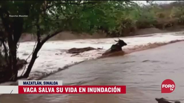 imagen vaca salvando su vida al evitar ser arrastrada en inundacion