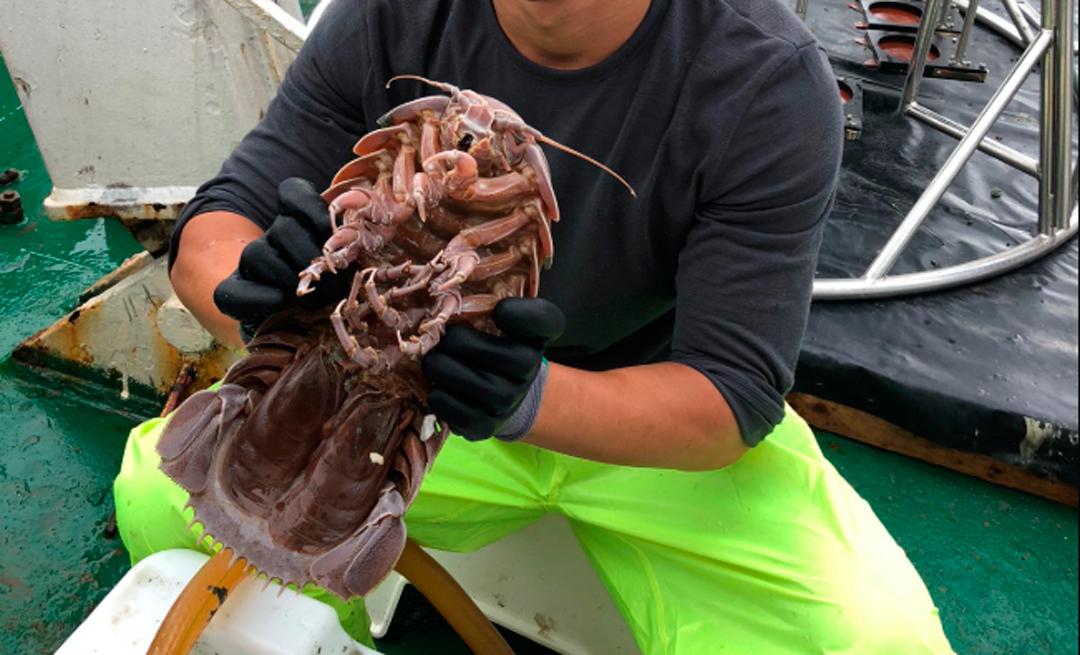 Descubren cucaracha gigante en las profundidades del mar de Indonesia