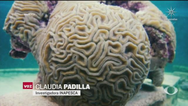 cientificos implementan estrategia de reproduccion asistida para aumentar el coral