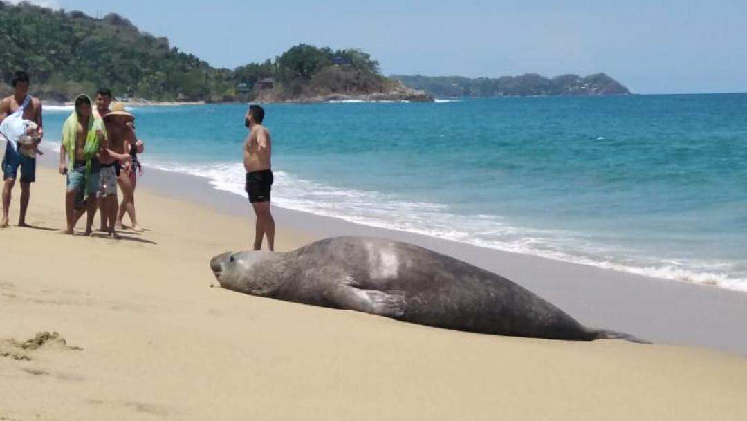 Elefante marino, Playa San Pancho, Nayarit