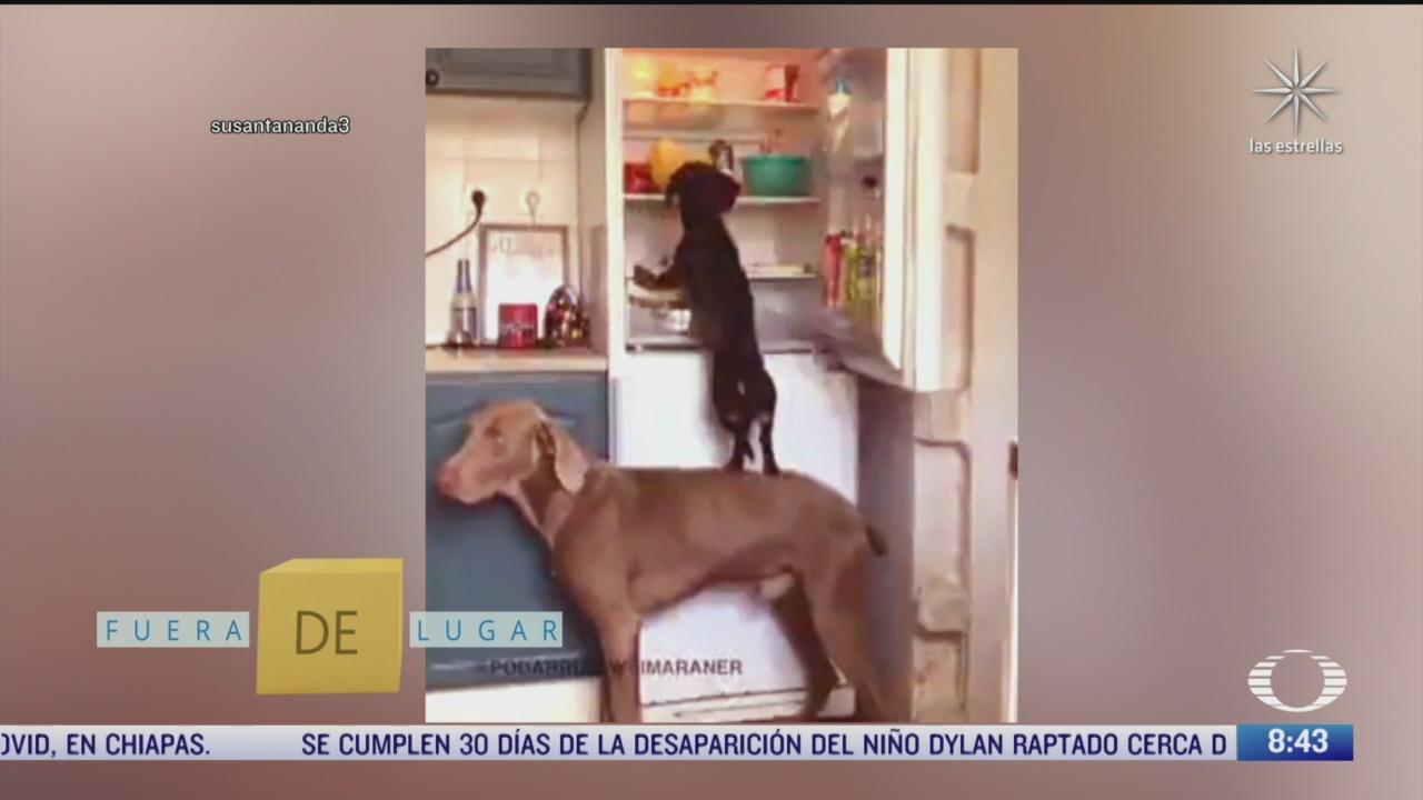 fuera de lugar perros son complices para robar un refrigerador