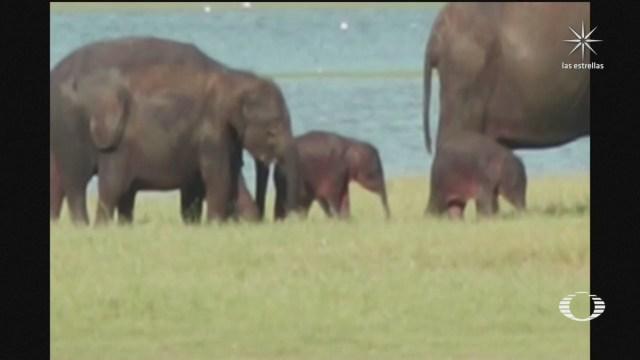 bebés elefantes gemelas en Sri Lanka