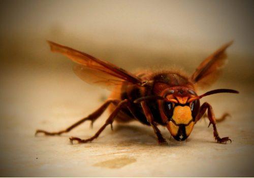 Los insectos más peligrosos del mundo; conoce algunos