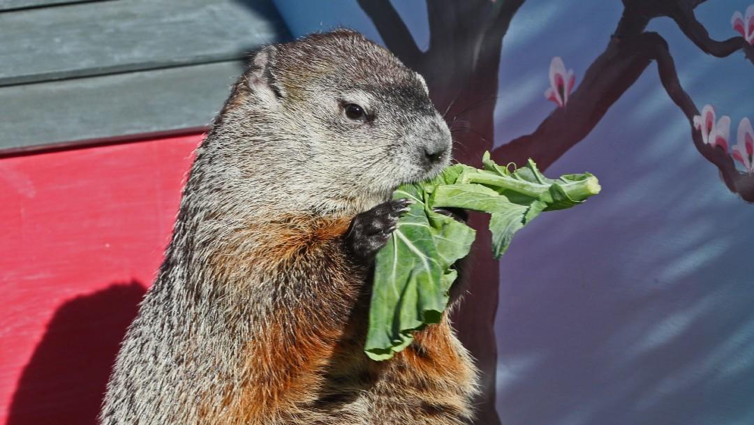 Marmota comiendo en EEUU; alertan sobre peste bubónica