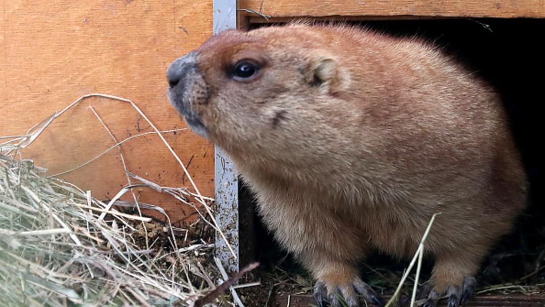 Marmota en zoológico de San Petersburgo, Rusia. Alertan sobre peste bubónica