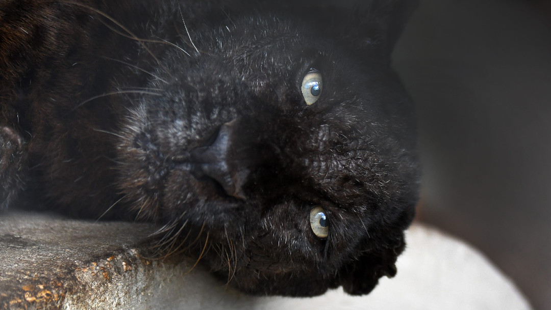 leopardo negro, imagen de archivo