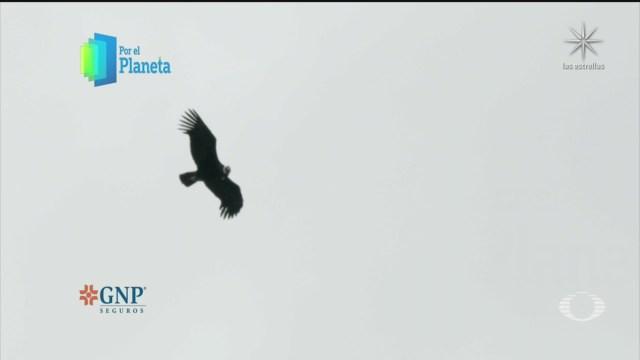 vuelo del cóndor andino, en la patagonia en Chile