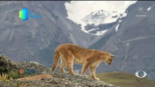 La Mocha', puma hembra símbolo del Paine en el Planeta