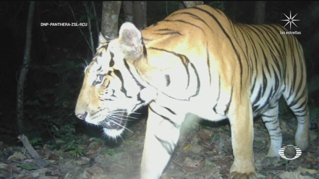 Avistamiento de tres tigres indochinos en Tailandia