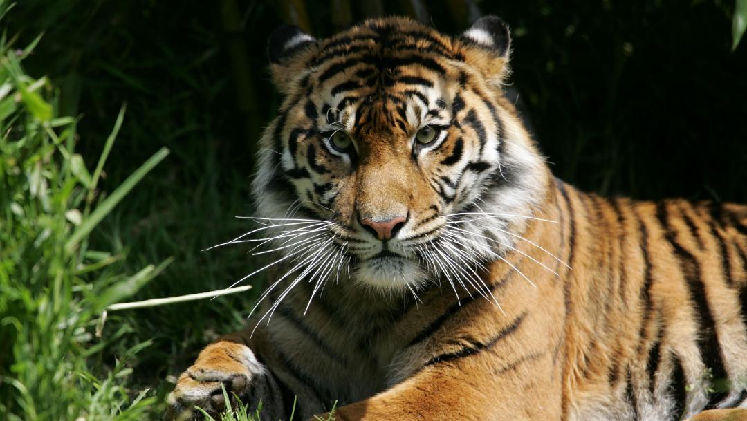 Los tigres salvajes son muy apreciados en países como China, donde son empleados en la elaboración de medicinas tradicionales, y su tráfico ilegal en Asia es una de las mayores amenazas para la preservación de la especie