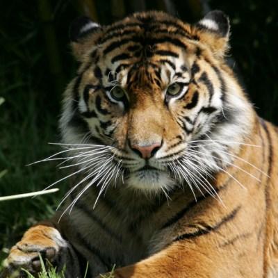 Tigre siberiano; Muere cuidadora tras ser atacada por tigre en zoológico de Zúrich