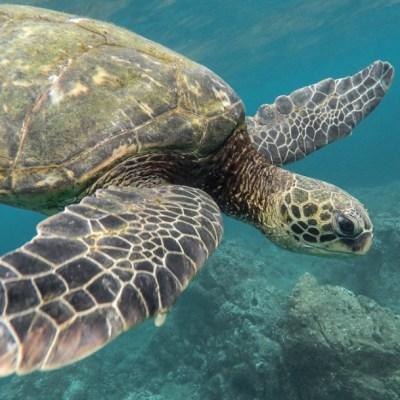 Tortugas marinas llegan a playas de Oaxaca para anidar
