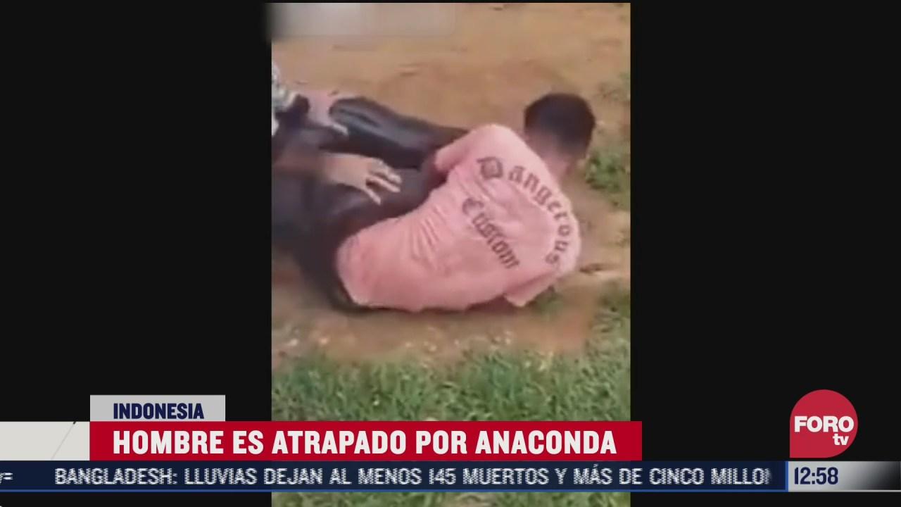anaconda atrapa y enrolla a hombre en indonesia