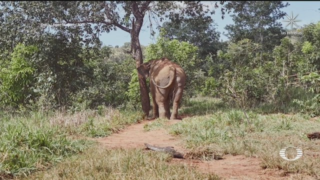 elefante asiatica es trasladada a un santuario en brasil