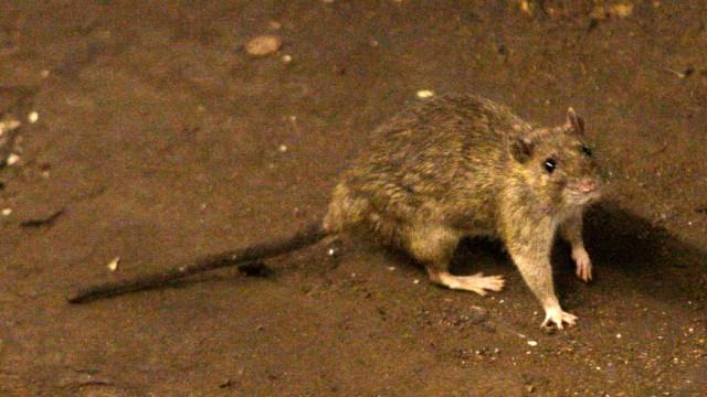 Imagen de una rata en el piso de tierra