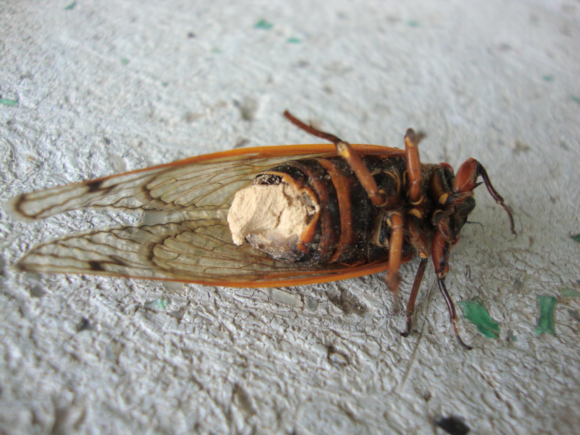Cigarra zombie, Massospora, insectos