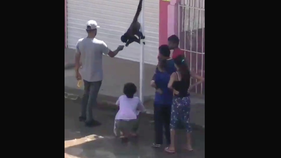 Dos monos sueltos sorprenden a habitantes de Tonala, Jalisco