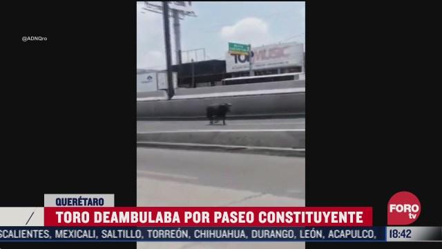 toro escapa de plaza y muere atropellado