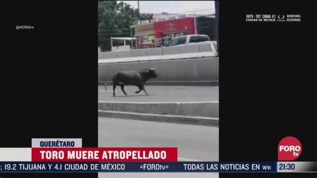 toro se escapa de plaza en queretaro y muere atropellado por un taxi