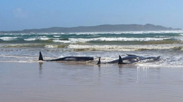 Un tercio de las 270 ballenas varadas en Australia murieron, según rescatistas