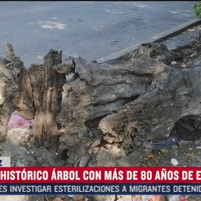 cae arbol historico en la ciudad de veracruz