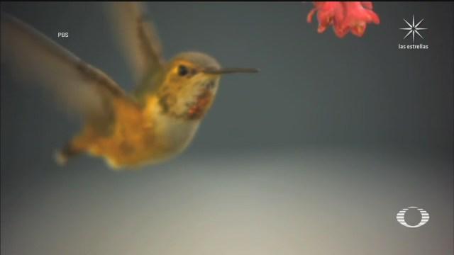 colibries de los andes bajan su temperatura hasta 35 grados