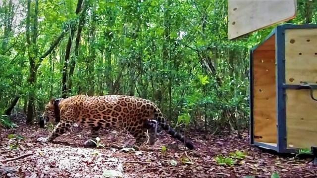 Jaguar es liberado en la reserva Sian Ka´an, en Quintana Roo