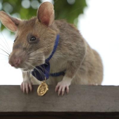 Magawa, rata gigante africana detectora de minas terrestres mortales, recibe medalla de oro