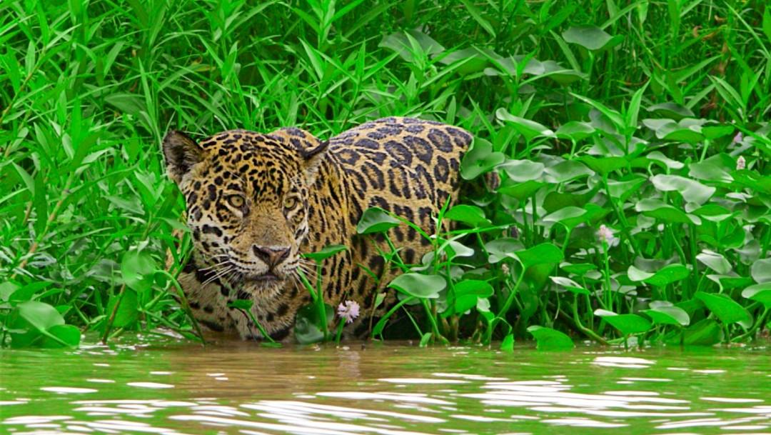 Pantanal brasileño alberga a jaguares