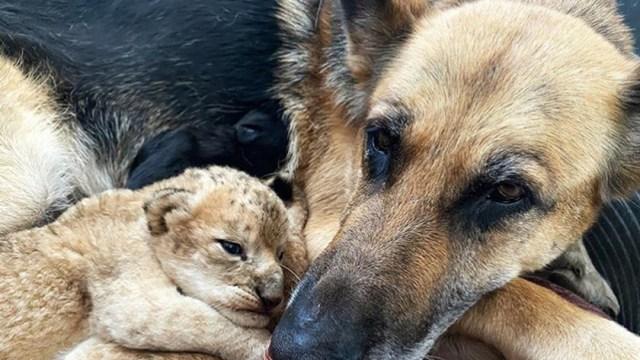 En Rusia, una perrita pastor alemán adoptó a cachorros de león rechazados por su madre a pesar de haber tenido a sus propios cachorros