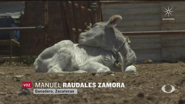 productores en zacatecas denuncian entrega de vacas con brucelosis por parte de sader